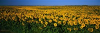Field of Sunflowers ND USA Framed Print