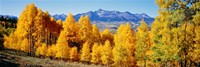 "Fall Aspen Trees Telluride CO by Panoramic Images - 36"" x 12"""