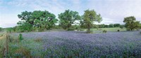 Field of Bluebonnet flowers, Texas, USA Fine Art Print