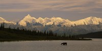 Moose standing on a frozen lake, Wonder Lake, Denali National Park, Alaska, USA Fine Art Print