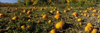 """Field of ripe pumpkins, Kent County, Michigan, USA by Panoramic Images - 36"""" x 12"""""""