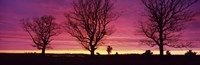 Oak Trees, Sunset, Sweden Fine Art Print