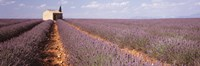"""Lavender Field, Valensole Province, France by Panoramic Images - 36"""" x 12"""""""