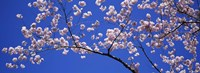 """Cherry Blossoms Washington DC by Panoramic Images - 36"""" x 12"""""""