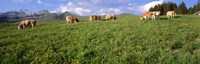 """Switzerland, Cows grazing in the field by Panoramic Images - 36"""" x 12"""""""