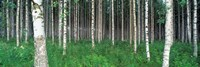 "Birch Forest, Punkaharju, Finland by Panoramic Images - 36"" x 12"""