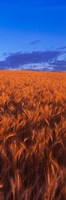Wheat Field WA Fine Art Print