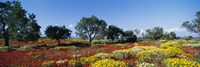Poppy Meadow with Almond Trees, Majorca, Spain by Panoramic Images - various sizes