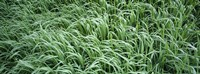 """High angle view of grass, Montana, USA by Panoramic Images - 36"""" x 12"""""""
