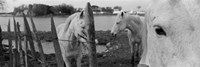 "Horses, Camargue, France by Panoramic Images - 36"" x 12"""