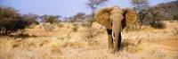 """Elephant, Somburu, Kenya, Africa by Panoramic Images - 36"""" x 12"""""""