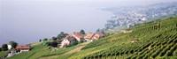 Vineyards, Lausanne, Lake Geneva, Switzerland Fine Art Print
