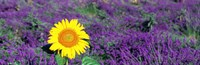 Lone sunflower in Lavender Field, France Fine Art Print