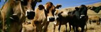 Close Up Of Cows, California, USA Fine Art Print