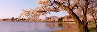 Cherry blossom tree along a lake, Potomac Park, Washington DC, USA Framed Print
