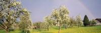 """36"""" x 12"""" Pear Tree"""