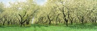 """Rows Of Cherry Tress In An Orchard, Minnesota, USA by Panoramic Images - 36"""" x 12"""", FulcrumGallery.com brand"""
