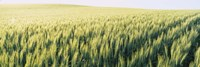 """Field Of Barley, Whitman County, Washington State, USA by Panoramic Images - 36"""" x 12"""" - $34.99"""