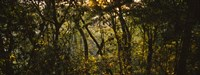 """Sunset over a forest, Monteverde Cloud Forest, Costa Rica by Panoramic Images - 36"""" x 12"""""""