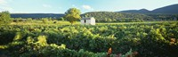 """Vineyard Provence France by Panoramic Images - 36"""" x 12"""" - $34.99"""