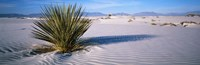 """Plant in the White Sands National Monument, New Mexico by Panoramic Images - 36"""" x 12"""", FulcrumGallery.com brand"""