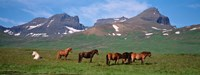"Horses in Borgarfjordur, Iceland by Panoramic Images - 36"" x 12"""