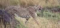 """Cheetah walking in a field by Panoramic Images - 36"""" x 12"""""""