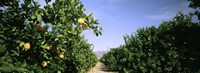 """Crop Of Lemon Orchard, California, USA by Panoramic Images - 36"""" x 12"""""""