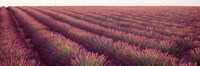 """Close-up of Lavender fields, Plateau de Valensole, France by Panoramic Images - 36"""" x 12"""""""