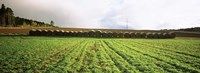 """Hay bales in a farm land, Germany by Panoramic Images - 36"""" x 12"""""""