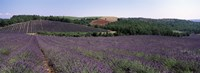 """Lavenders Growing In A Field, Provence, France by Panoramic Images - 36"""" x 12"""""""