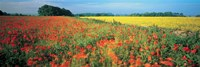 Flowers in a field, Bath, England by Panoramic Images - various sizes
