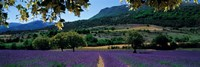 Mountain behind a lavender field, Provence, France Framed Print
