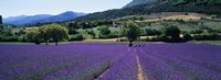 Lavender Field, Provence, France by Panoramic Images - various sizes
