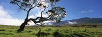 """Koa Tree On A Landscape, Mauna Kea, Big Island, Hawaii, USA by Panoramic Images - 36"""" x 12"""""""