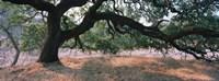 Oak tree on a field, Sonoma County, California, USA Fine Art Print