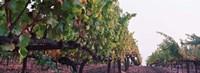 Crops in a vineyard, Sonoma County, California, USA Fine Art Print