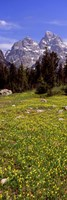 Glacier lilies on a field, North Folk Cascade Canyon, Grand Teton National Park, Wyoming, USA by Panoramic Images - various sizes