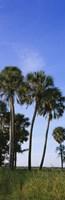 Palm trees on a landscape, Myakka River State Park, Sarasota, Florida, USA by Panoramic Images - various sizes - $32.49