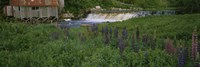 Lupine flowers in a field, Petite River, Nova Scotia, Canada by Panoramic Images - various sizes