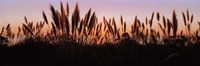 """Silhouette of grass in a field at dusk, Big Sur, California, USA by Panoramic Images - 36"""" x 12"""""""