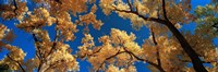 """Low angle view of cottonwood tree, Canyon De Chelly, Arizona, USA by Panoramic Images - 36"""" x 12"""""""