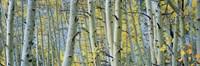"Aspen trees in Spring, Rock Creek Lake, California by Panoramic Images - 36"" x 12"""