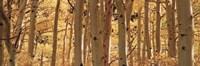 "Aspen trees in Autumn, Rock Creek Lake, California by Panoramic Images - 36"" x 12"""