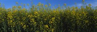 "Canola Flower Field in Edmonton by Panoramic Images - 36"" x 12"""