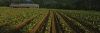 """Tobacco Field in North Carolina by Panoramic Images - 36"""" x 12"""""""