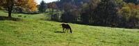 """Grazing Horses in Kent County by Panoramic Images - 36"""" x 12"""""""