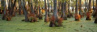 """Bald cypress trees (Taxodium disitchum) in a forest, Illinois, USA by Panoramic Images - 36"""" x 12"""""""