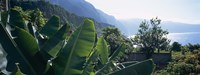 "Banana trees in a garden at the seaside, Ponta Delgada, Madeira, Portugal by Panoramic Images - 36"" x 12"", FulcrumGallery.com brand"