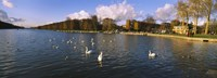 Flock of swans swimming in a lake, Chateau de Versailles, Versailles, Yvelines, France Fine Art Print